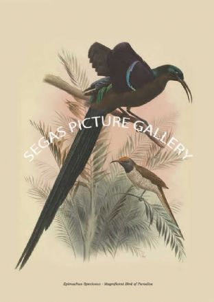 Epimachus Speciosus - Magnificent Bird of Paradise